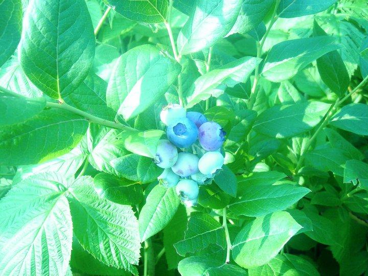 """""""Blue Moon"""" Blueberries in June."""